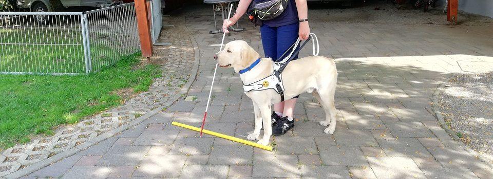 Blinden-Schulung mit Golden Retriever. Hund lernt Hindernisse zu melden