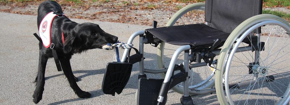 Schwarze Labrador Hündin zieht ein Rollstuhl zur Frauchen